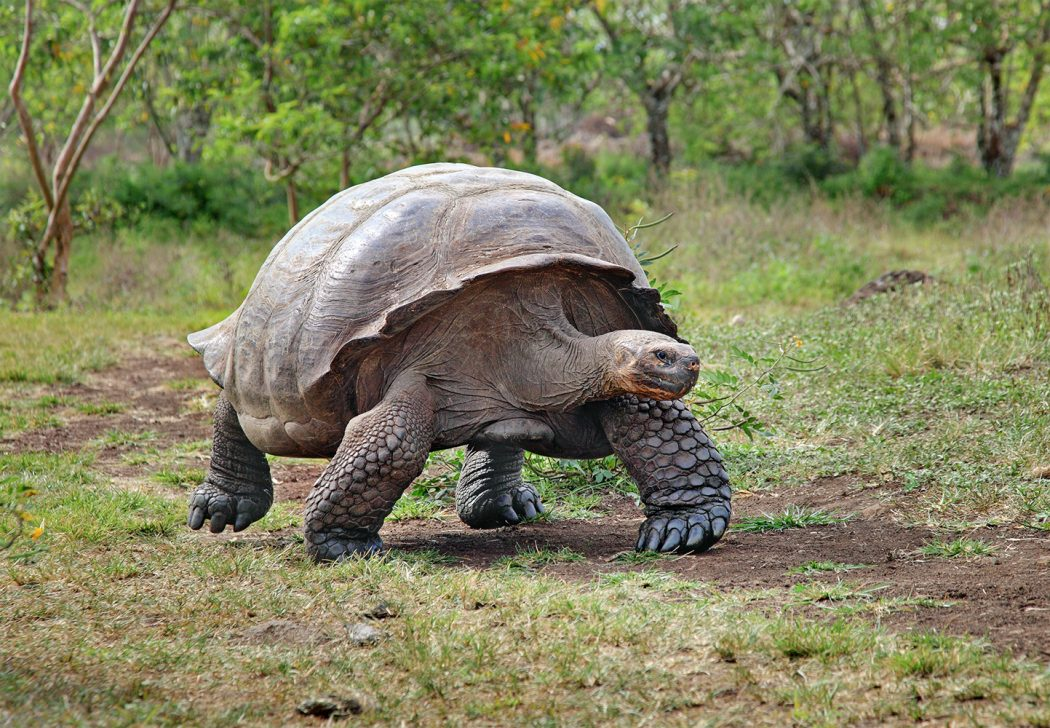 Giant-Tortoise-Santa-Cruz 10 Animals That Outlive People