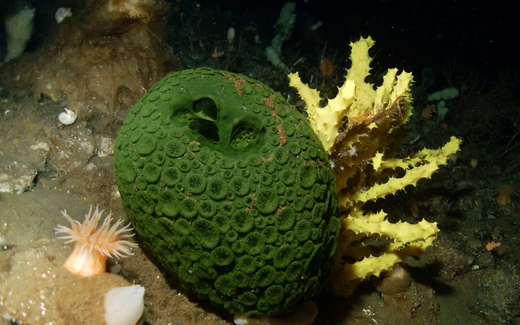 Green_and_yellow_sea_sponges_Antarctica 10 Animals That Outlive People