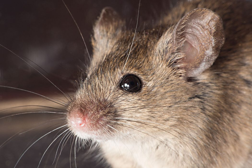 Health-Hazards-of-Mice-in-Homes 5 Animals Who Have Launched Into Space
