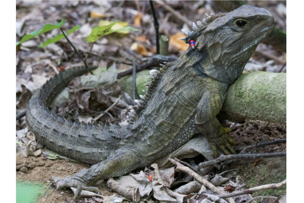 Male-tuatara 10 Animals That Outlive People