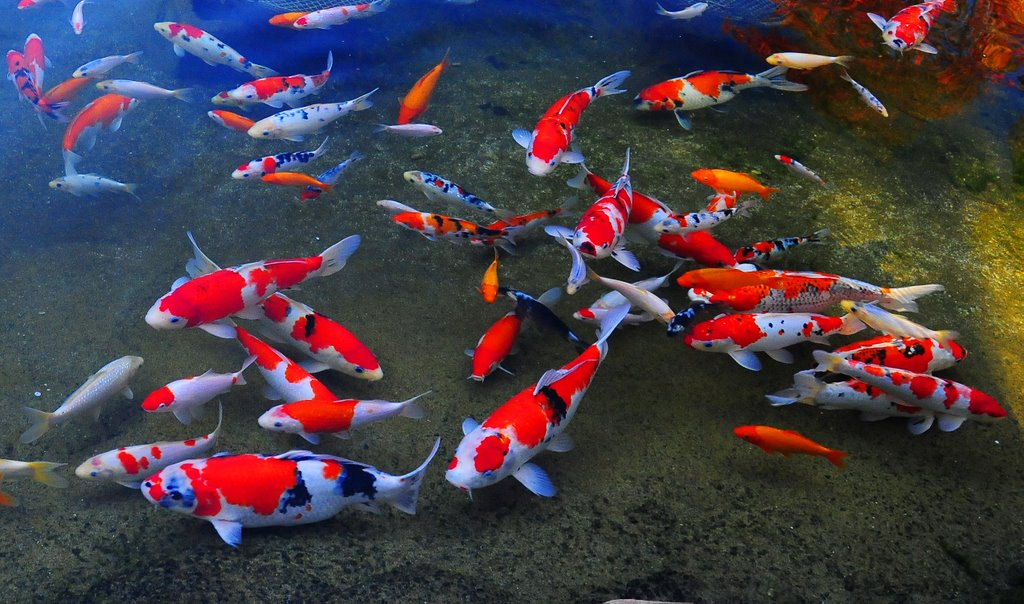 cost-reduced-on-most-expensive-japanese-koi-fish-online-2 11 Tips on Mixing Antique and Modern Décor Styles