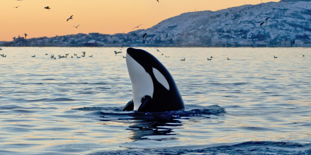 o-ORCA-facebook 10 Animals That Outlive People