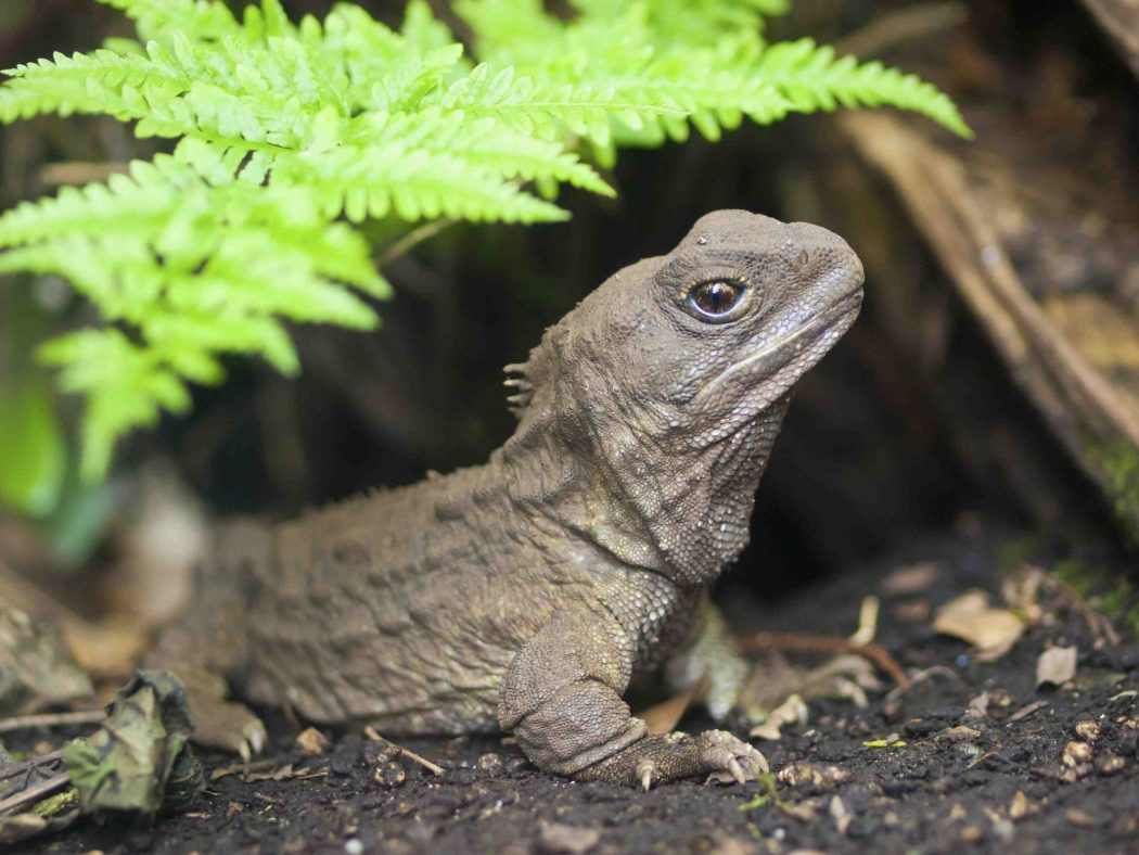 tuatara2 10 Animals That Outlive People