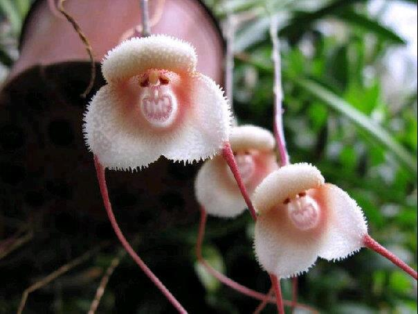 5-seeds-dracula-simia-monkey-face-orchid-seeds-monkey-like-dracula-3 Top 10 Lovely Flowers That Smile All The Year