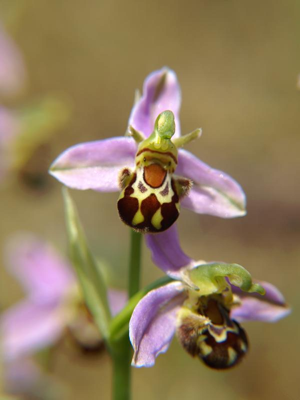 Bee-Orchid-Ophrysapifera Top 10 Crazy Looking Flowers That will Surprise You ...