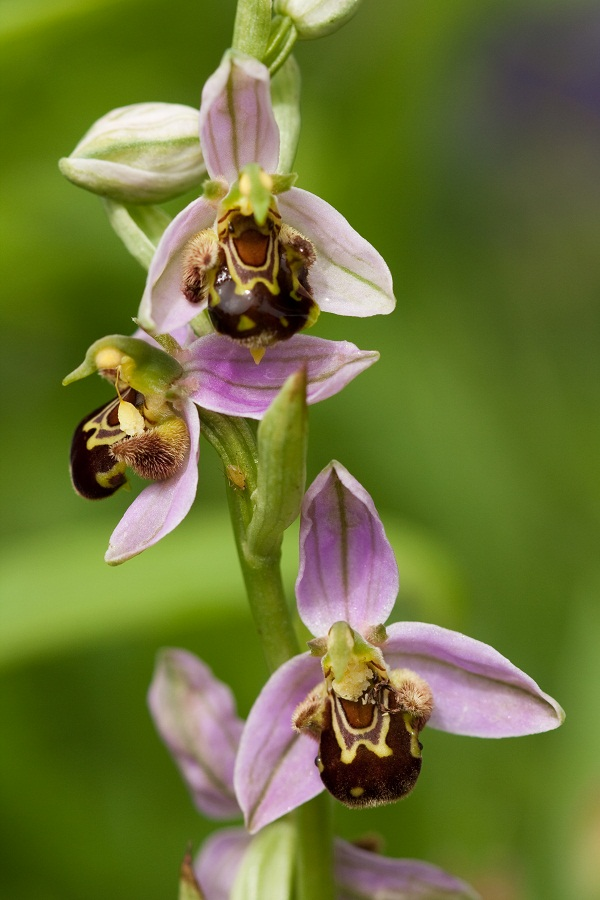 Bee-Orchid-Ophrysapifera4 Top 10 Crazy Looking Flowers That will Surprise You ...