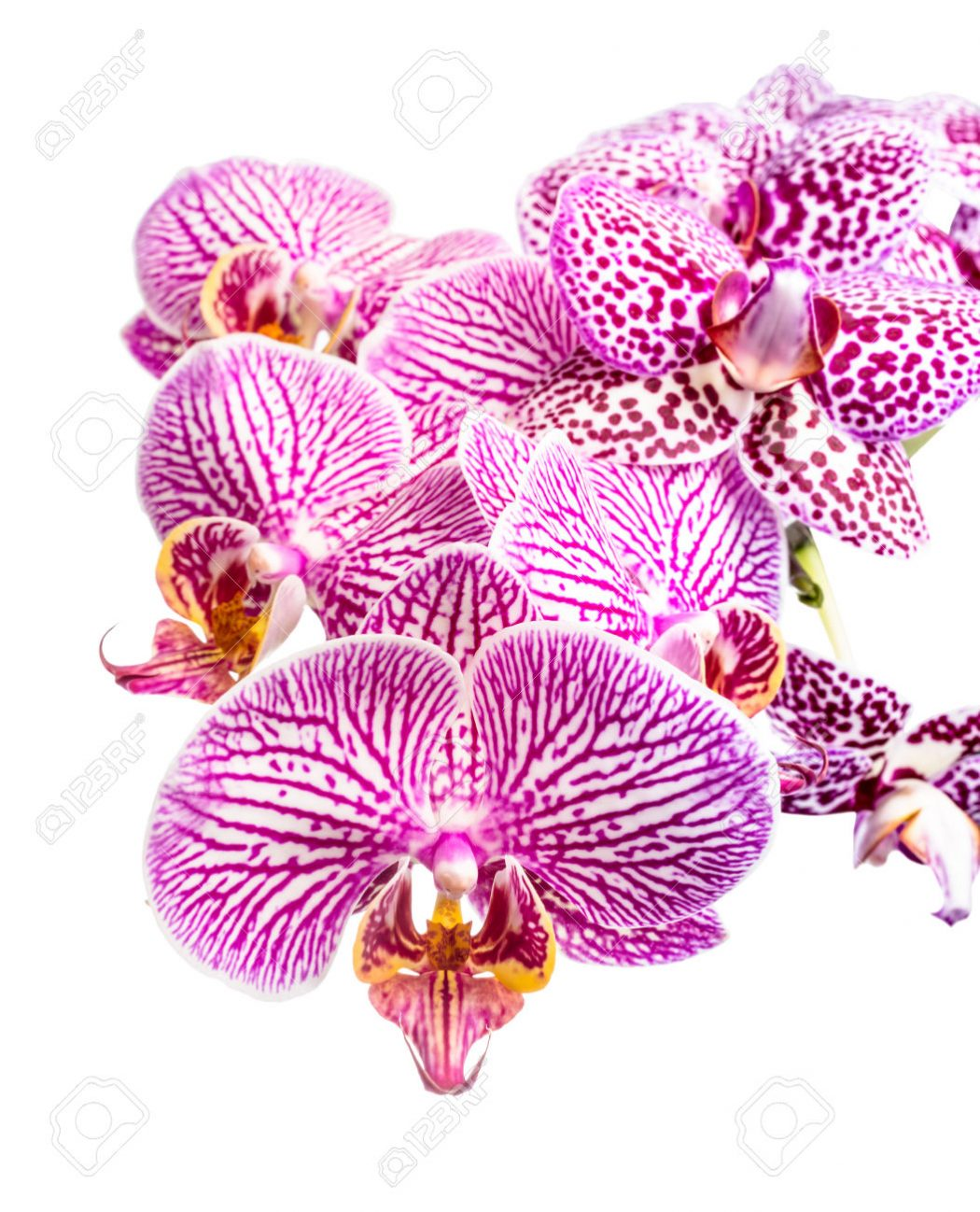 Blooming-striped-and-spotted-purple-orchids-phalaenopsis-is-isolated-on-white-background-Stock-Photo Top 10 Crazy Looking Flowers That will Surprise You ...