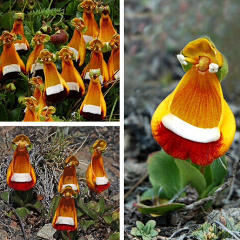 Calceolaria-uniflora-seeds-Aliens-Flower-seeds-Garden-DIY-Bonsai-Exotic-Plant-Flower-Seed-Easy-to-plant Top 10 Lovely Flowers That Smile All The Year