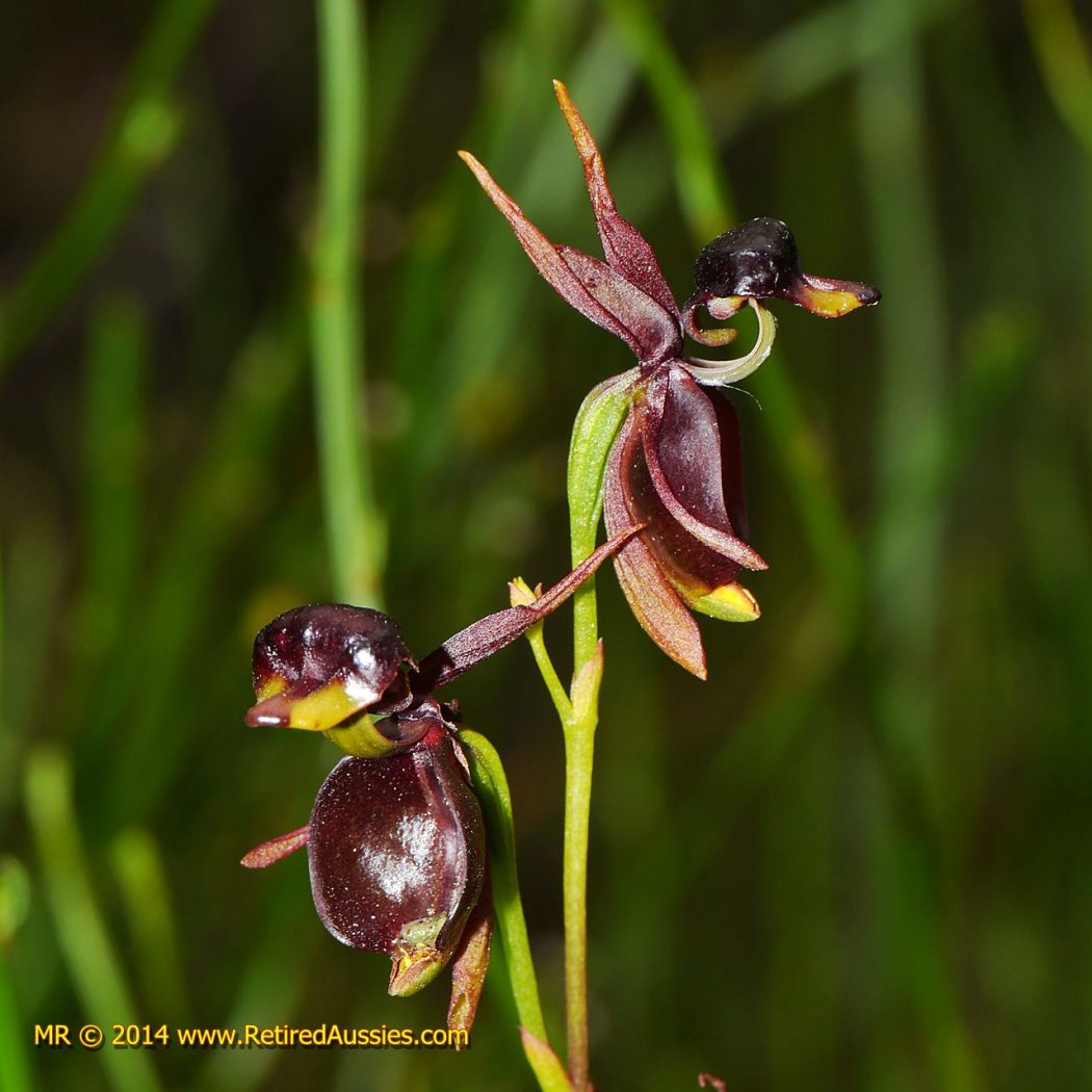 Caleana-major-Flying-Duck-Orchid Top 10 Crazy Looking Flowers That will Surprise You ...