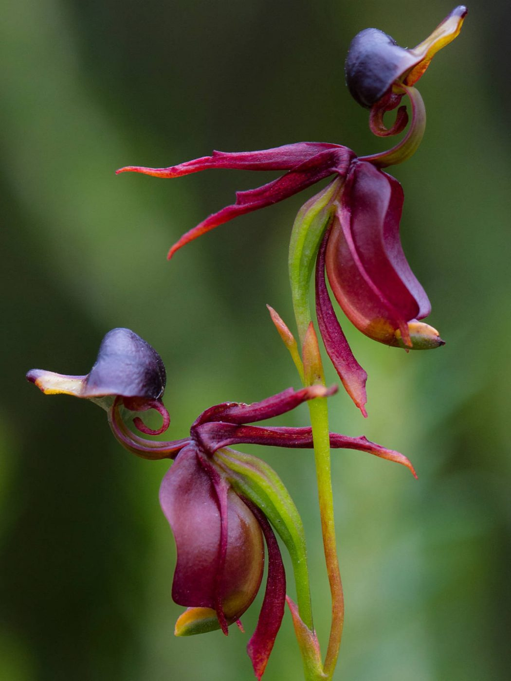 Caleana-major-Flying-Duck-Orchid2 Top 10 Lovely Flowers That Smile All The Year