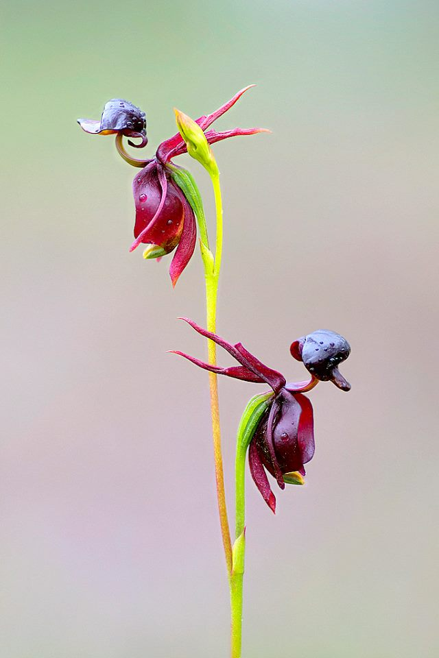 Caleana-major-flying-duck-orchid-1 Top 10 Lovely Flowers That Smile All The Year