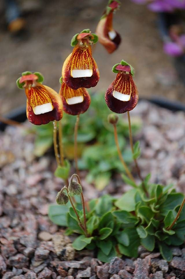 Chamber-Maids-Calceolaria-uniflora Top 10 Crazy Looking Flowers That will Surprise You ...