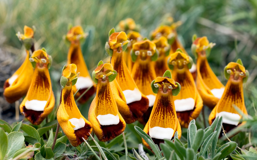 Chamber-Maids-Calceolaria-uniflora2 Top 10 Crazy Looking Flowers That will Surprise You ...