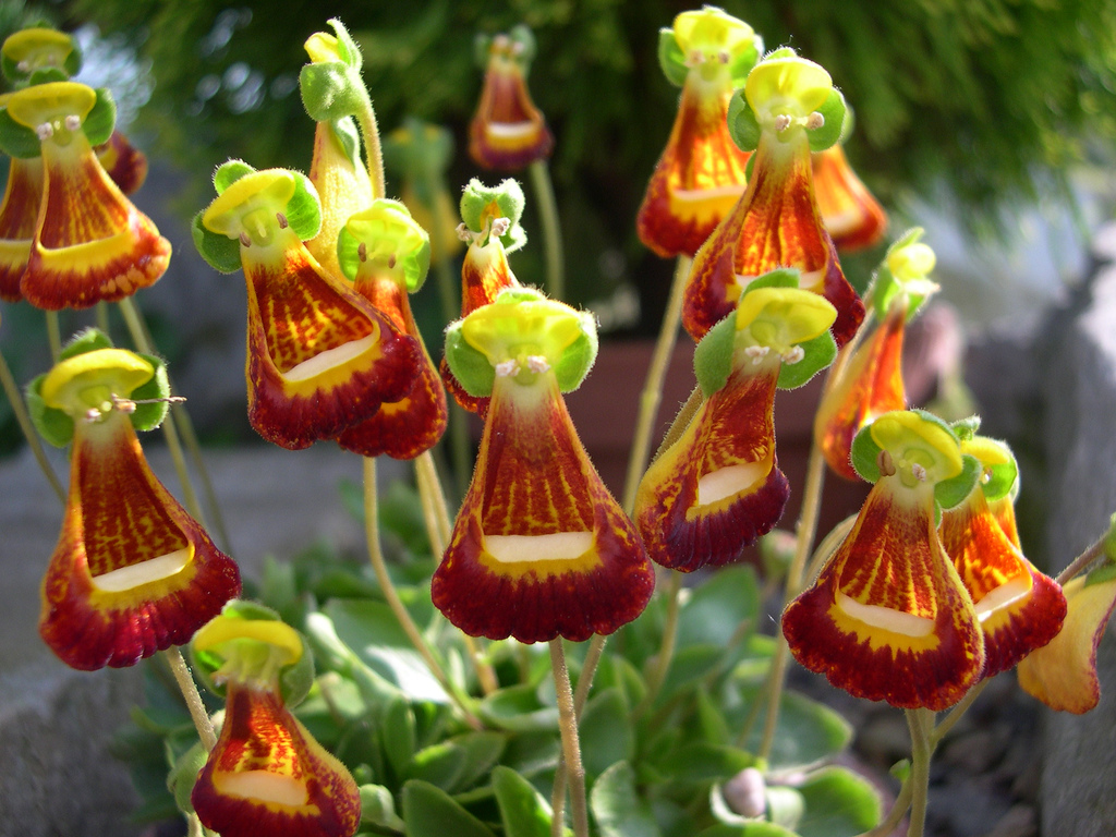 Chamber-Maids-Calceolaria-uniflora4 Top 10 Crazy Looking Flowers That will Surprise You ...