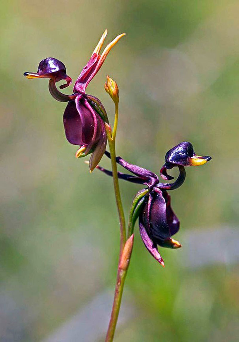 Flying-Duck-Orchid-Caleana-Major-17-Flowers-That-Look-Like-Something-Else Top 10 Lovely Flowers That Smile All The Year