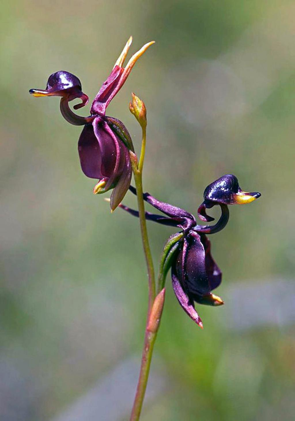 Flying-Duck-Orchid-Caleana-major Top 10 Crazy Looking Flowers That will Surprise You ...