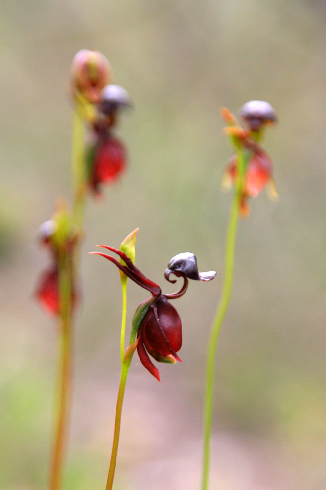 Flying-Duck-Orchid-Caleana-major2 Top 10 Crazy Looking Flowers That will Surprise You ...