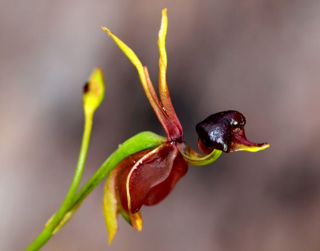 Flying-Duck-Orchid-Caleana-major3 Top 10 Crazy Looking Flowers That will Surprise You ...