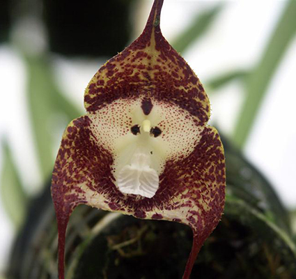 Green_DraculaSimia_Dracula-Species Top 10 Lovely Flowers That Smile All The Year