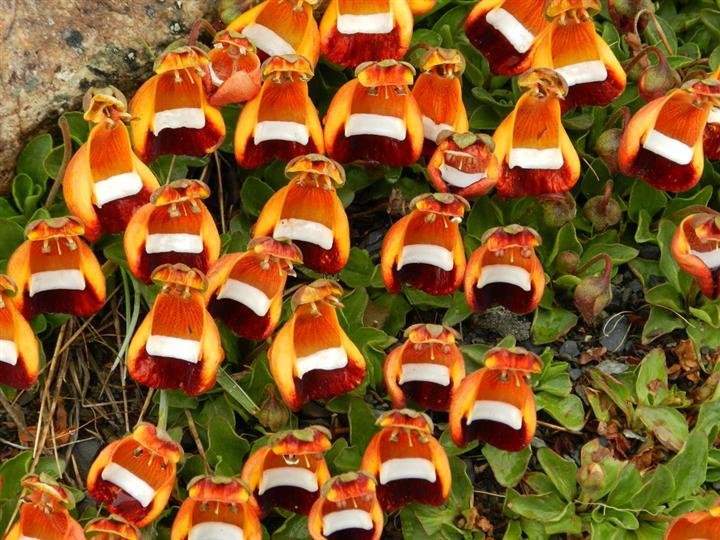 Happy-Alien-Calceolaria-Uniflora1-Custom Top 10 Crazy Looking Flowers That will Surprise You ...