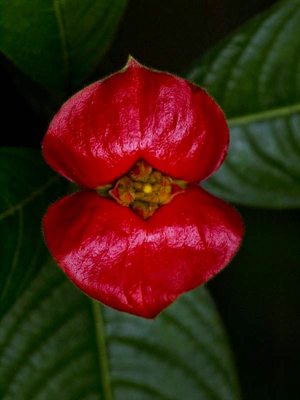 Hooker's-Lips-Psychotriaelata2 Top 10 Crazy Looking Flowers That will Surprise You ...