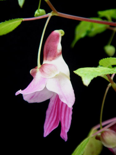 Impatiens-psittacina-03 Top 10 Lovely Flowers That Smile All The Year