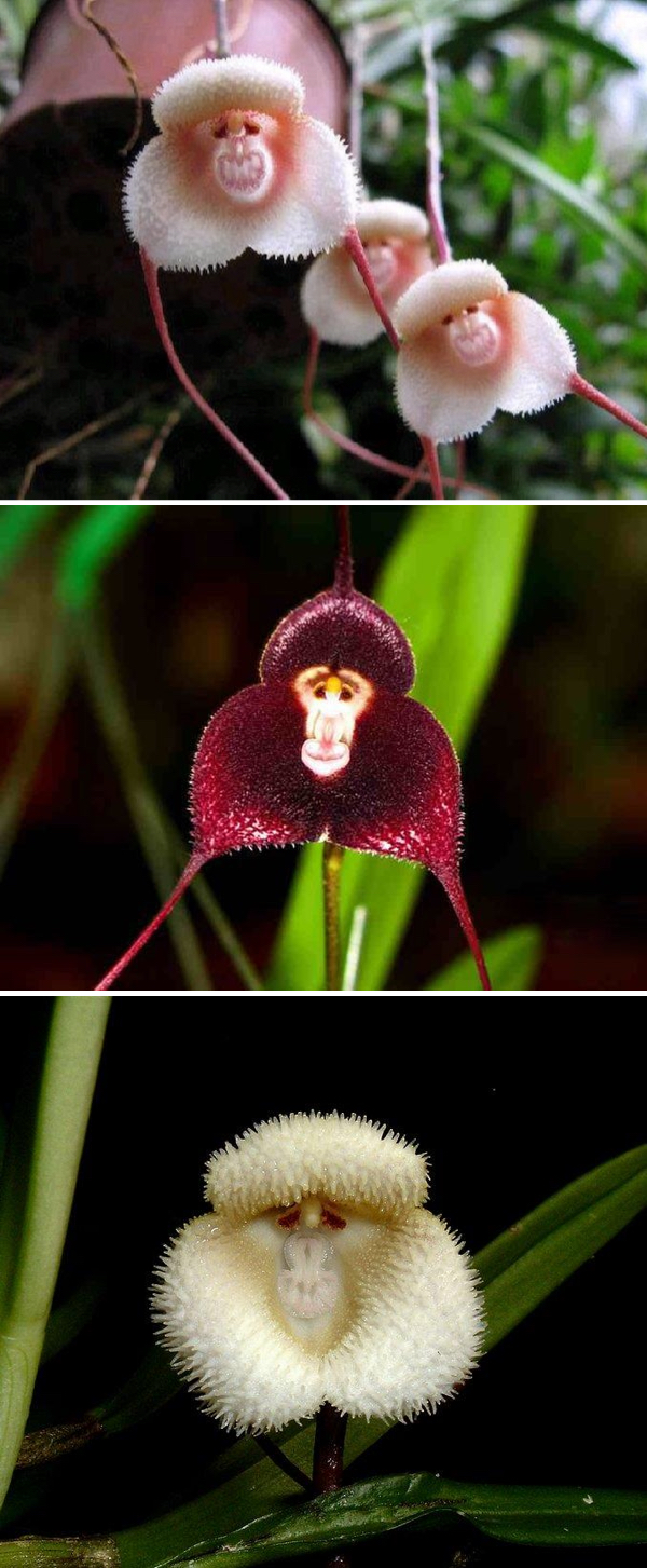 Monkey-Face-Orchid-Flowers-2 Top 10 Crazy Looking Flowers That will Surprise You ...