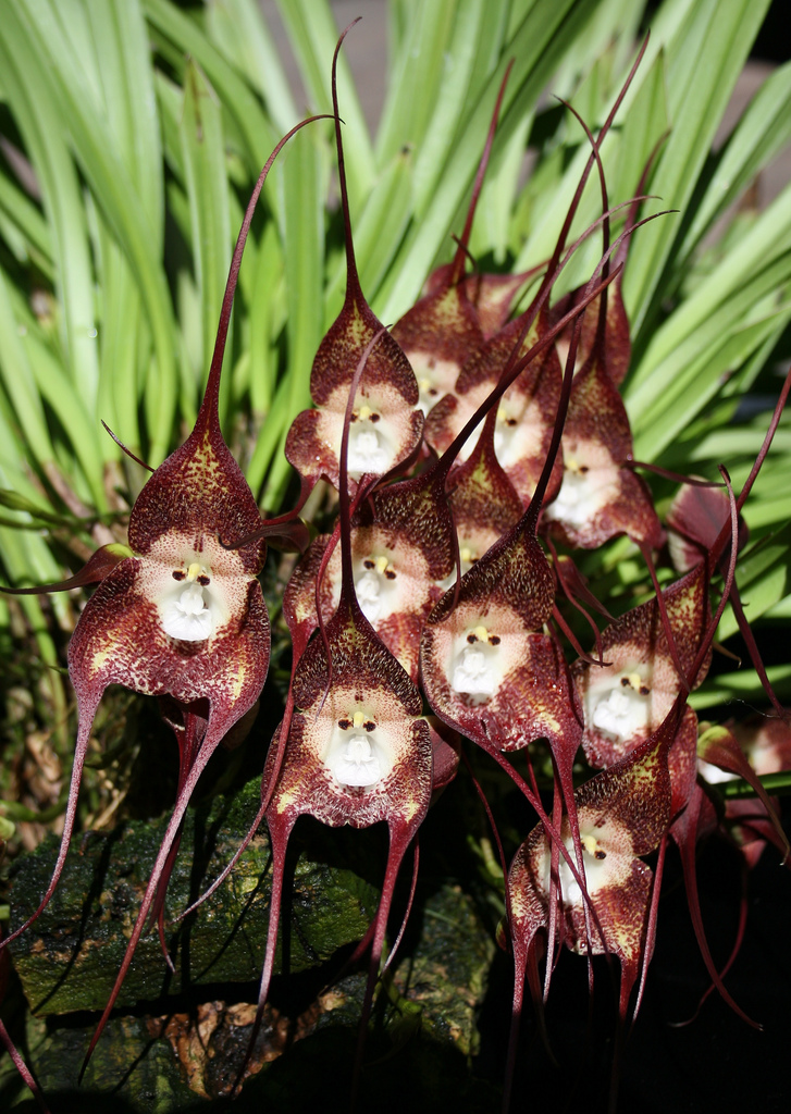 Monkey-Face-Orchid-Flowers-5 Top 10 Crazy Looking Flowers That will Surprise You ...
