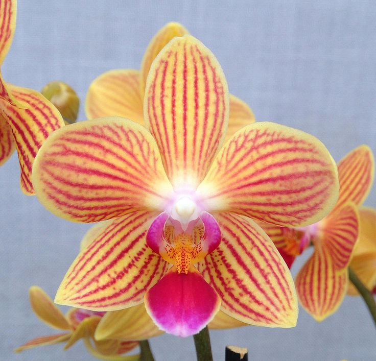 Moth-Orchid-Phalaenopsisamabilis Top 10 Crazy Looking Flowers That will Surprise You ...
