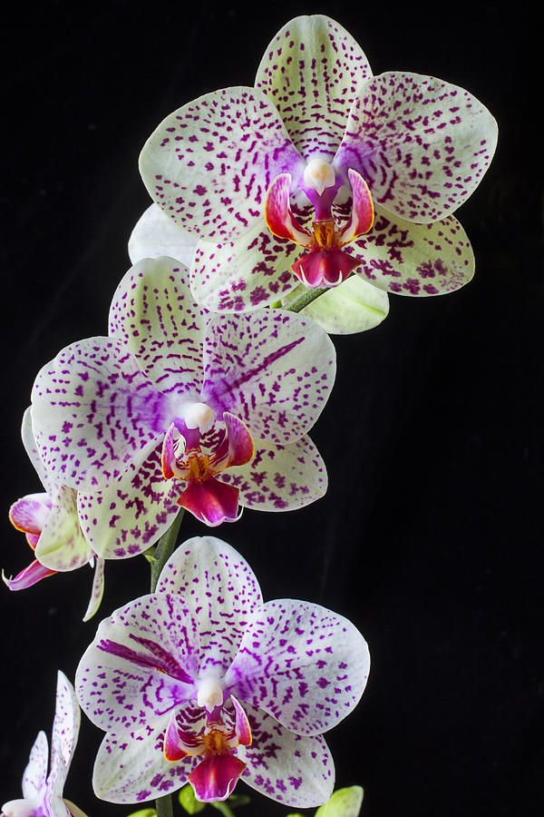 Moth-Orchid-Phalaenopsisamabilis3 Top 10 Crazy Looking Flowers That will Surprise You ...