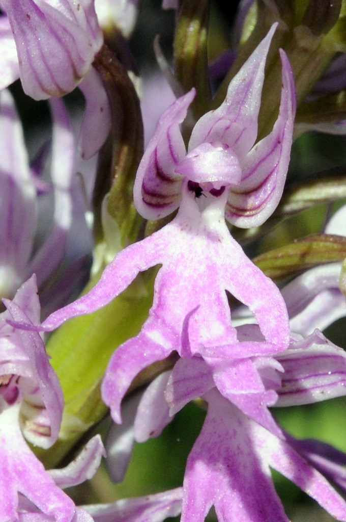 Naked-Man-Orchid-Orchisitalica Top 10 Crazy Looking Flowers That will Surprise You ...