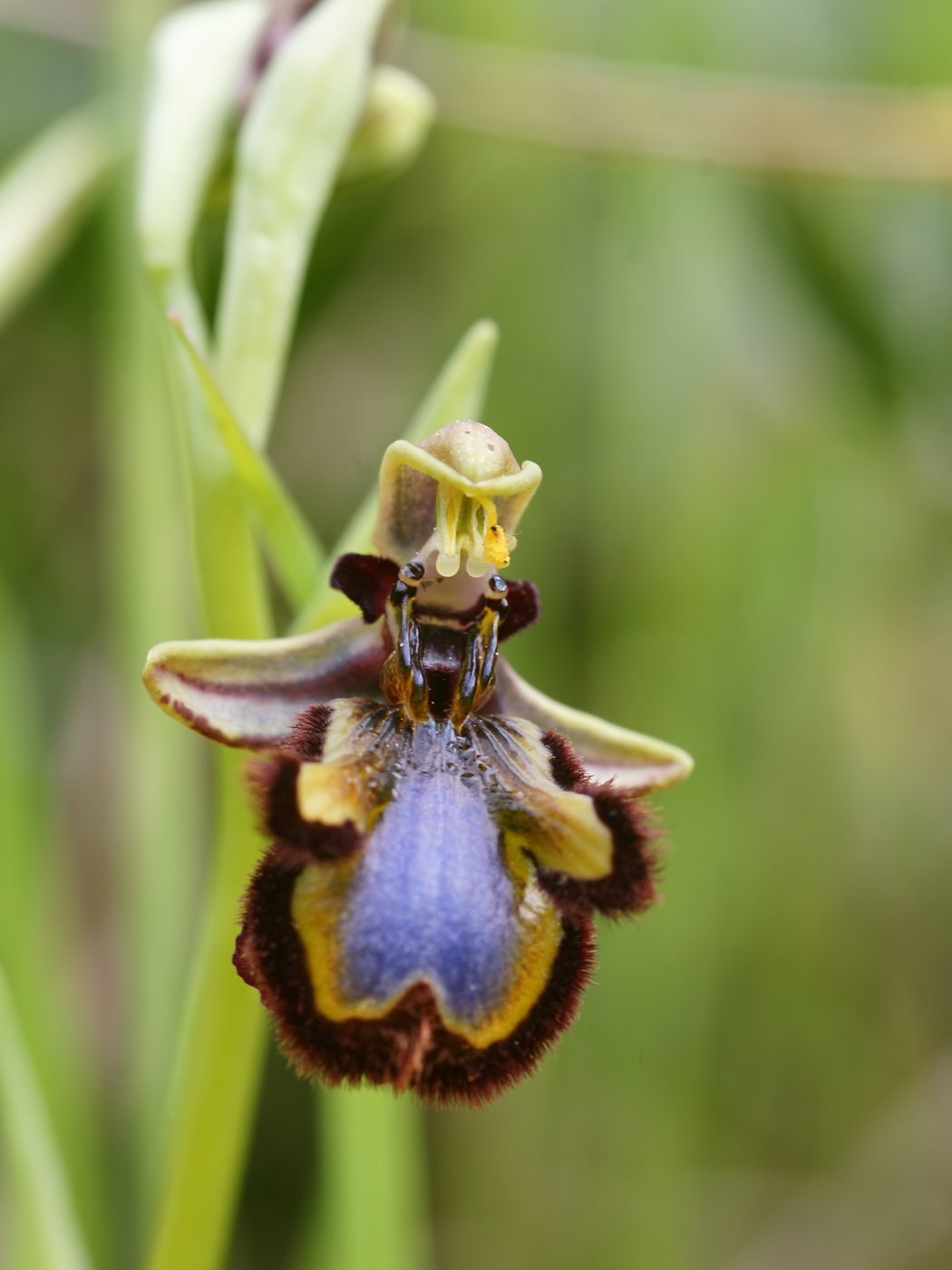 Ophrys-speculum Top 10 Crazy Looking Flowers That will Surprise You ...