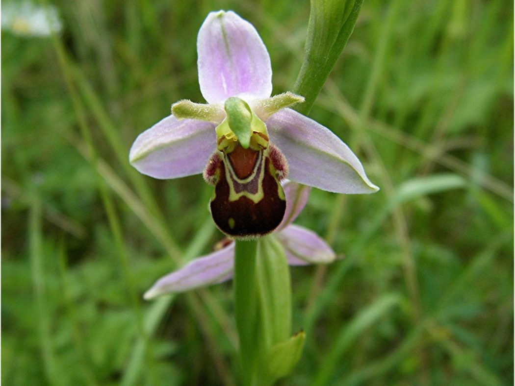 Orchid-Bee-Ophrys-apifera Top 10 Crazy Looking Flowers That will Surprise You ...