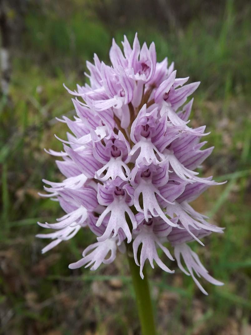 Orchis-italica-inflorescence-2 Top 10 Lovely Flowers That Smile All The Year