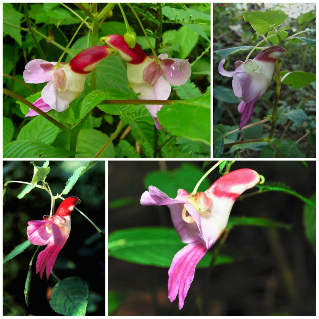 Parrot-Flower-Impatiens-psittacina2 Top 10 Crazy Looking Flowers That will Surprise You ...