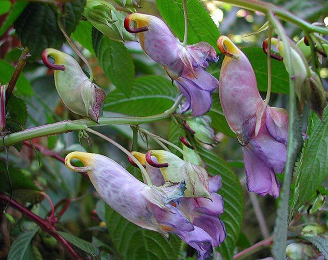 Parrot-Flower-Impatiens-psittacina6 Top 10 Crazy Looking Flowers That will Surprise You ...