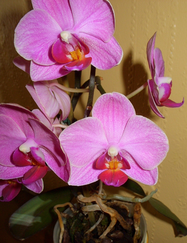 Phalaenopsis_Moth_Pink_Orchids Top 10 Crazy Looking Flowers That will Surprise You ...
