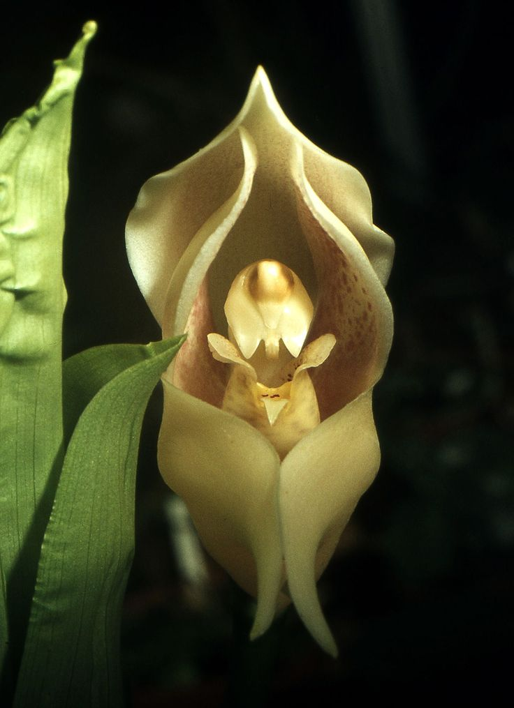 Swaddled-Babies-Anguloauniflora-crazy-looking-flower Top 10 Crazy Looking Flowers That will Surprise You ...