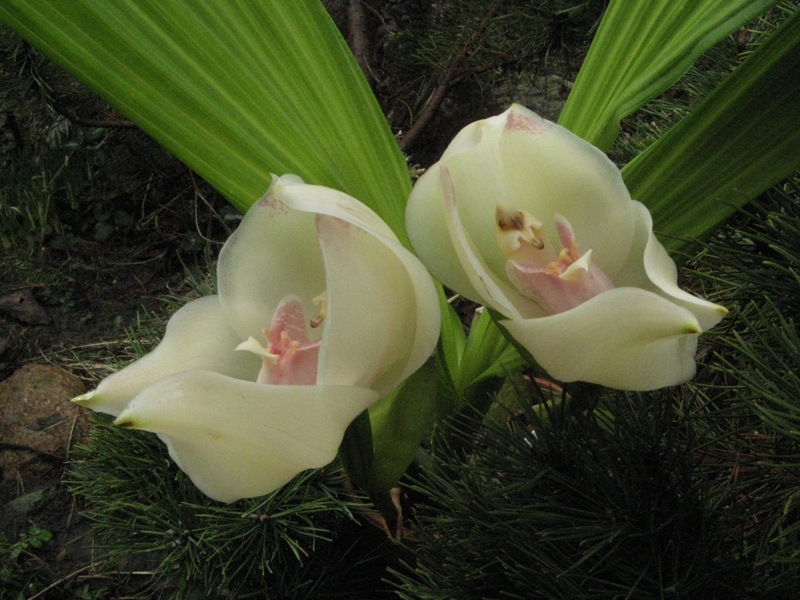 Swaddled-Babies-Anguloauniflora-flowers Top 10 Crazy Looking Flowers That will Surprise You ...