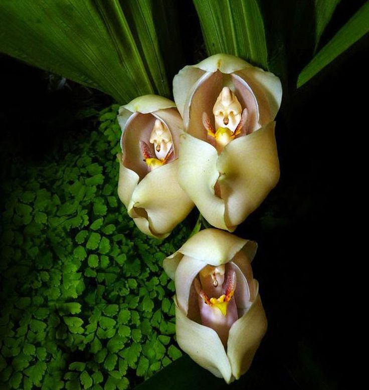 Swaddled-Babies-Anguloauniflora Top 10 Crazy Looking Flowers That will Surprise You ...