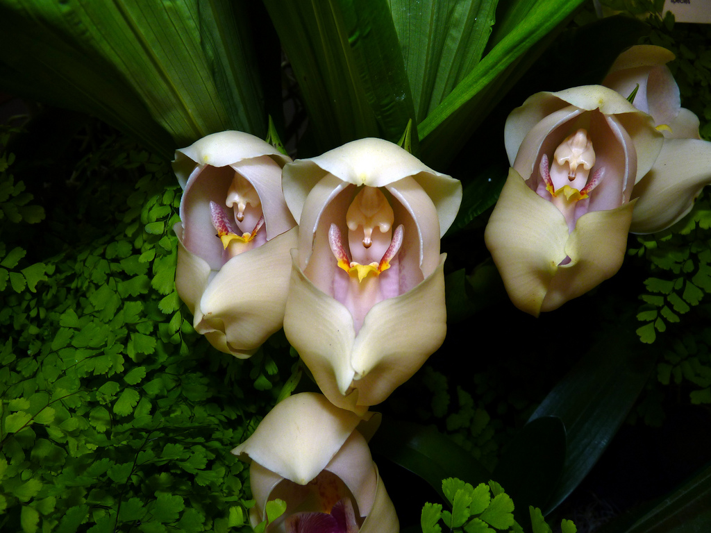 Swaddled-Babies-Anguloauniflora2 Top 10 Crazy Looking Flowers That will Surprise You ...