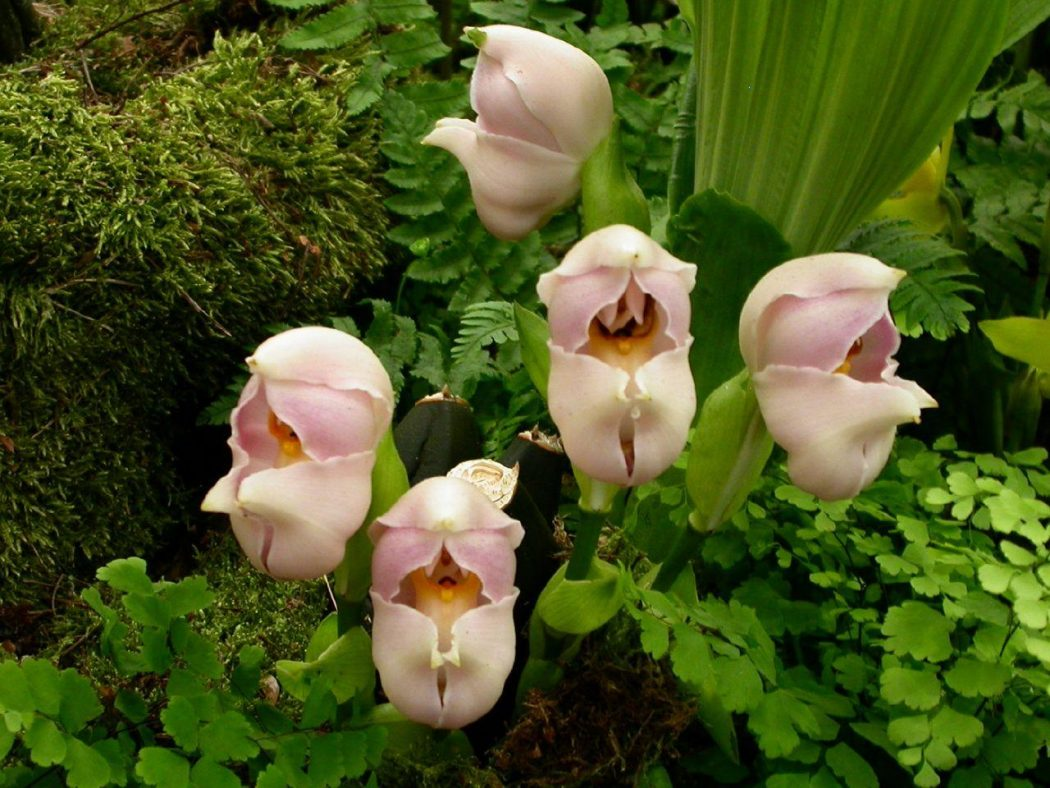 Swaddled-Babies-Anguloauniflora3 Top 10 Crazy Looking Flowers That will Surprise You ...