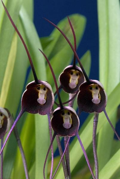 hot-potted-peru-monkey-face-orchid-seeds Top 10 Lovely Flowers That Smile All The Year