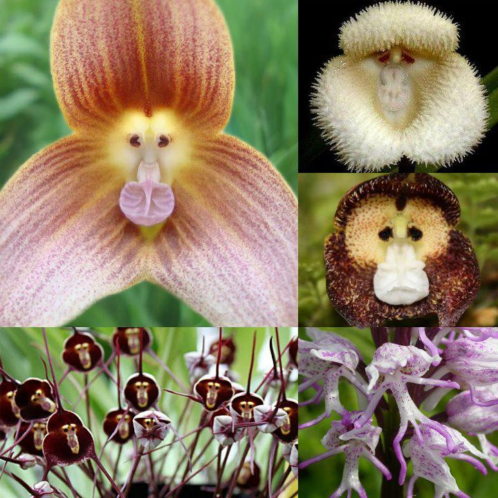 monkey_orchids Top 10 Lovely Flowers That Smile All The Year