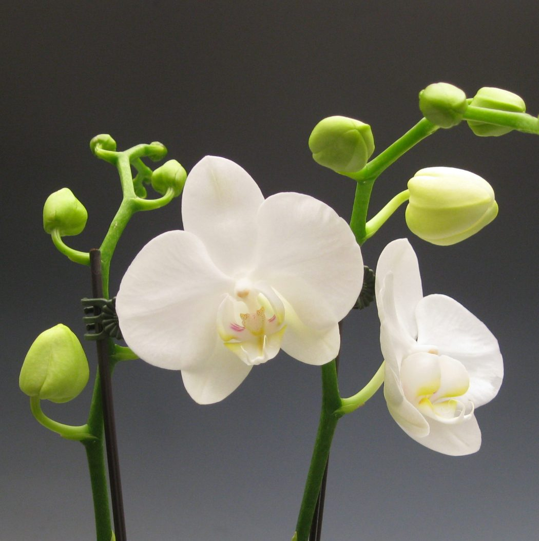 orchids_phalaenopsis-amabilis-farmosa-008 Top 10 Crazy Looking Flowers That will Surprise You ...