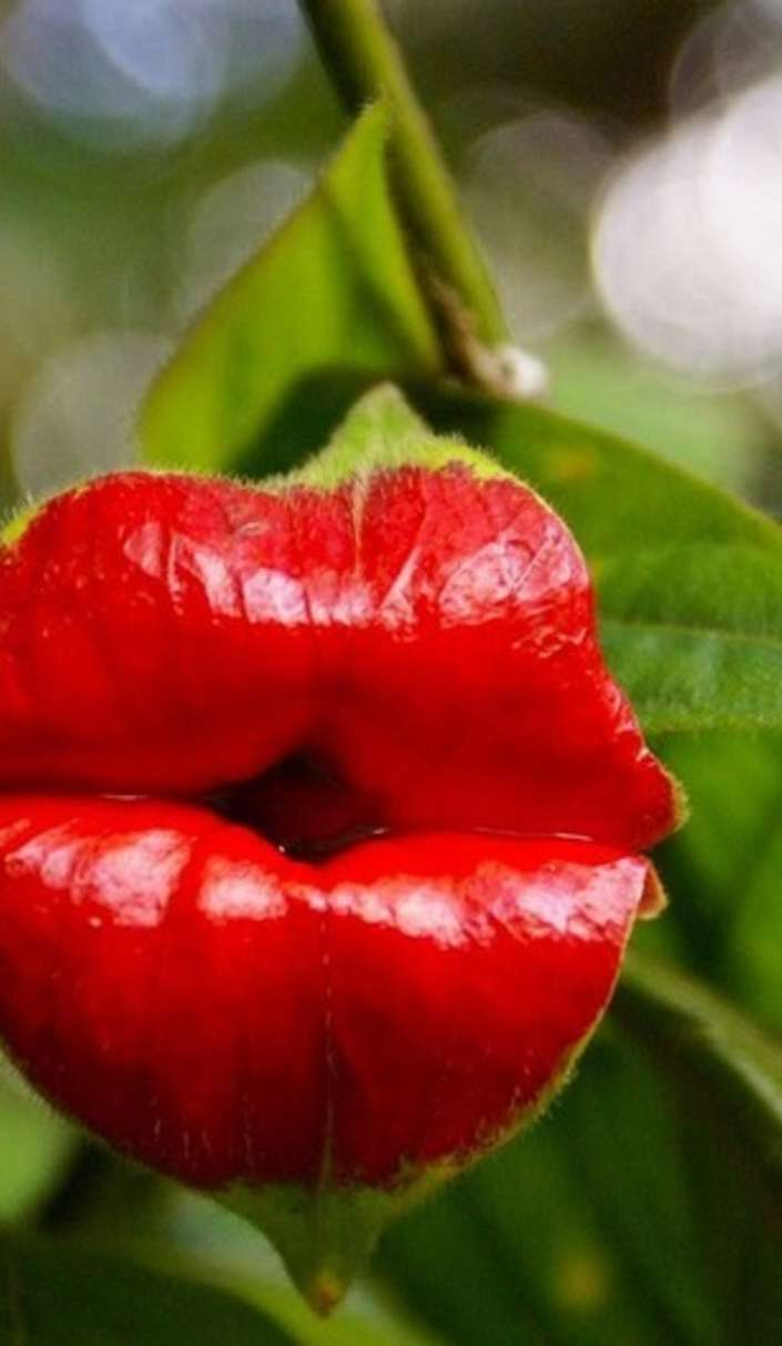 pucker-up-and-kiss-some-hookers-lips-flower Top 10 Crazy Looking Flowers That will Surprise You ...