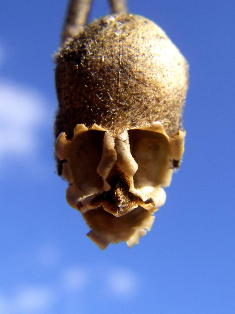 snapgdragon-seed-pod-skull-dragons-skull-3 Top 10 Lovely Flowers That Smile All The Year
