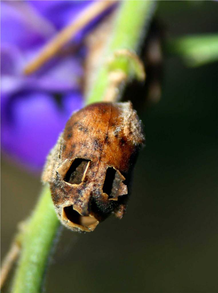 snapgdragon-seed-pod-skull-dragons-skull-6 Top 10 Lovely Flowers That Smile All The Year