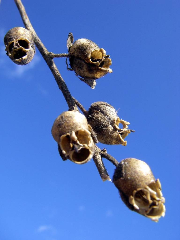 snapgdragon-seed-pod-skull-dragons-skull Top 10 Lovely Flowers That Smile All The Year