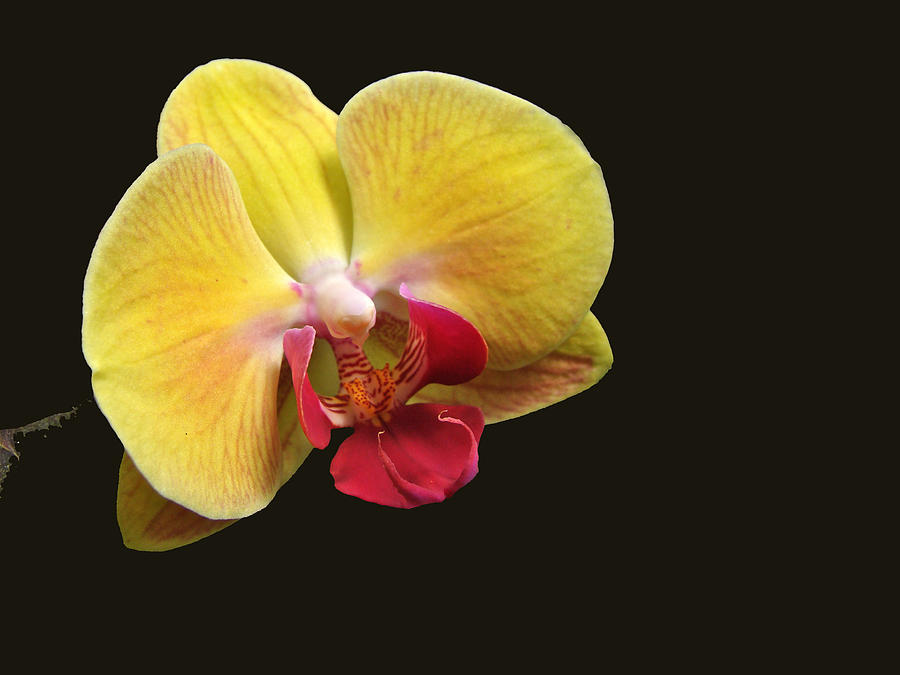 yellow-moth-orchid-phalaenopsis-carol Top 10 Crazy Looking Flowers That will Surprise You ...